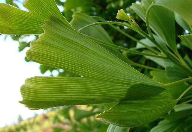 Gingko biloba 'Saratoga' unique leaf form up close