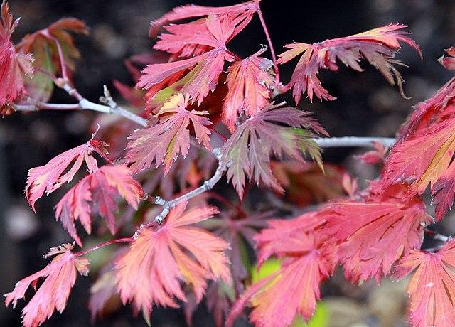 Fernleaf Maple Fall Color