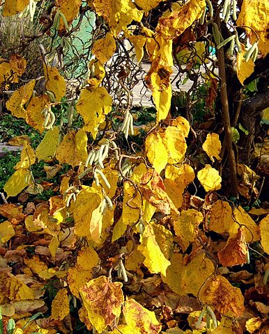 Contorted Filbert Yellow Fall Leaves