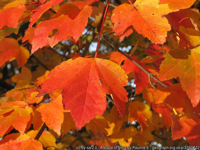 Fall color of October Glory Red Maple