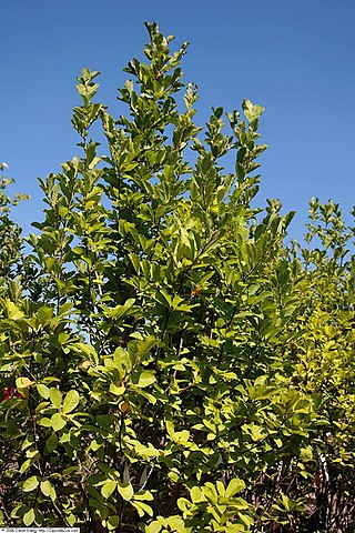 Butterflies Magnolia foliage and habit/form
