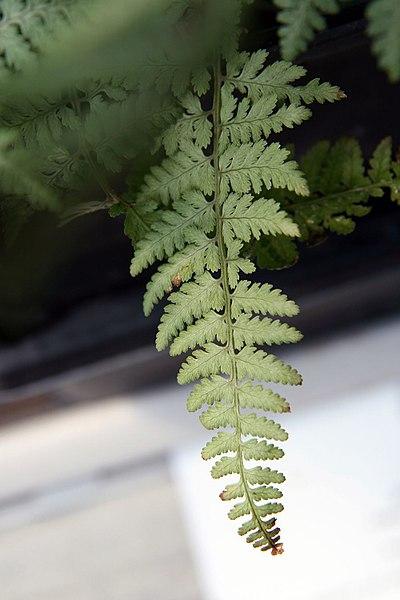 Ghost Fern leaf /frond