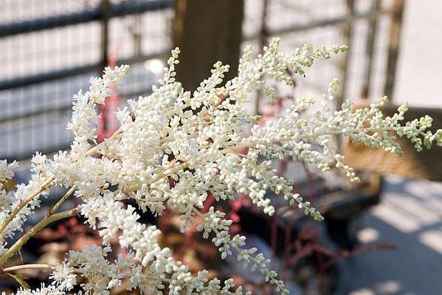 Pure white flower bloom opening up on Bridal Veil Astilbe