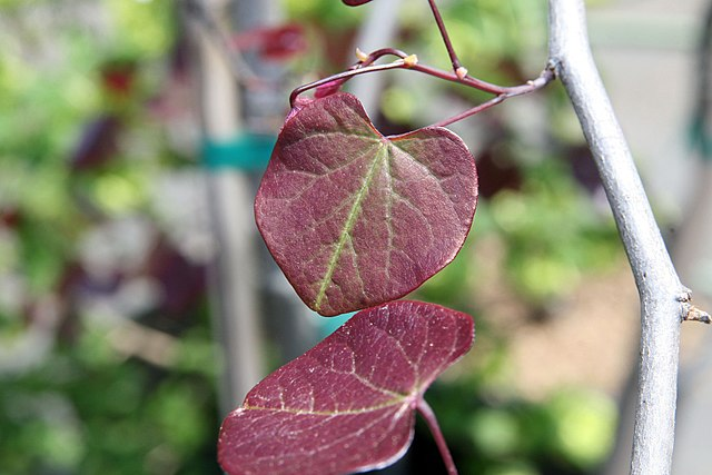 Forest Pansy Redbud new leaves emerge maroon/red color and become a deeper maroon with age