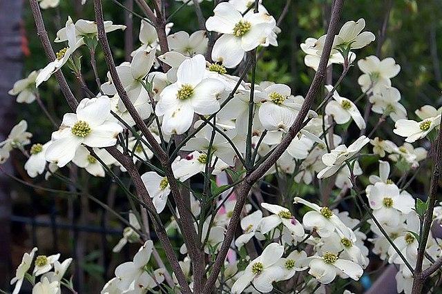 Cloud Nine Flowering Dogwood in bloom