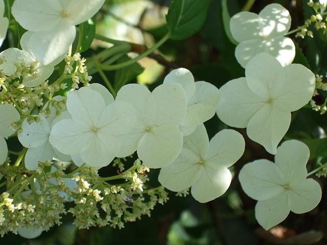 White lace-cap flowers of Climbing Hydrangea