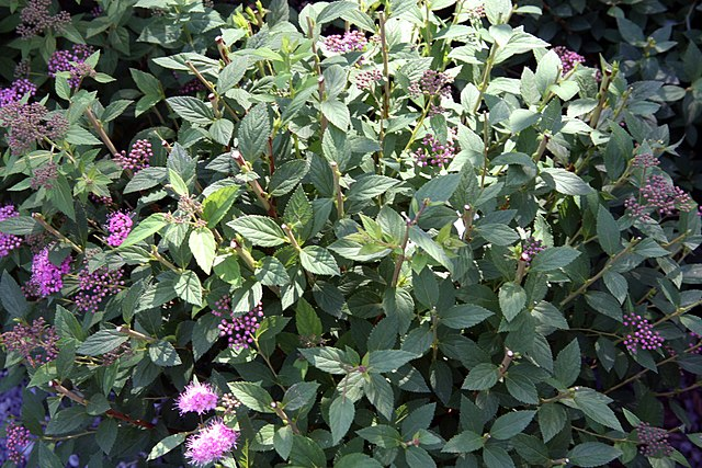 Green foliage and flower buds opening up on Little Princess Spirea