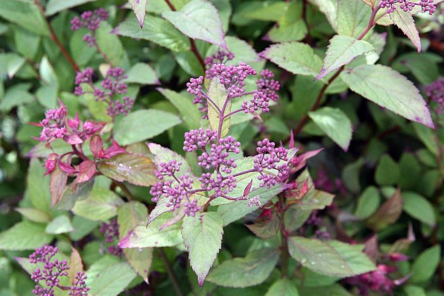 Anthony Waterer Spirea foliage and flower buds about to open