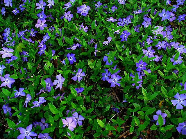 Blue/purple flowers of common periwinkle ground cover