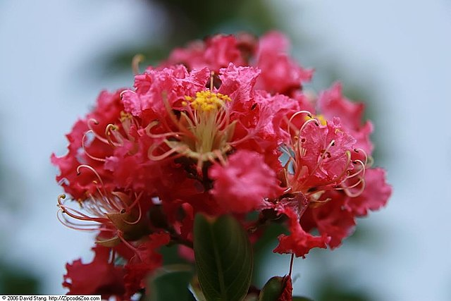 Tuscarora Crape Myrtle coral pink flower bloom up close