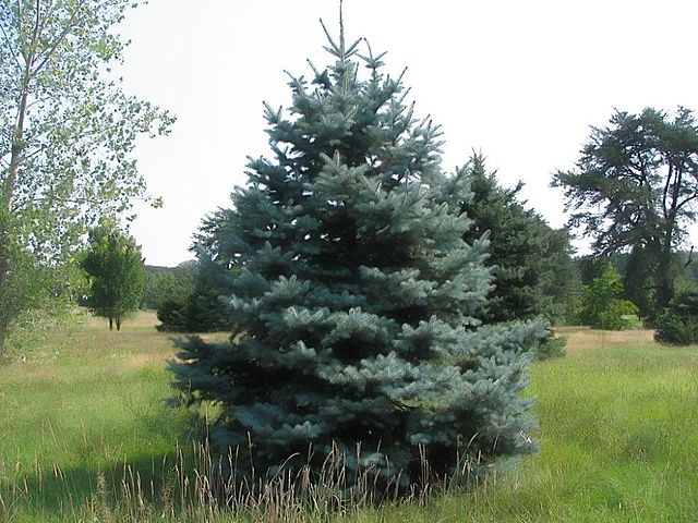 Colorado Blue Spruce blue needles and overall form of young tree