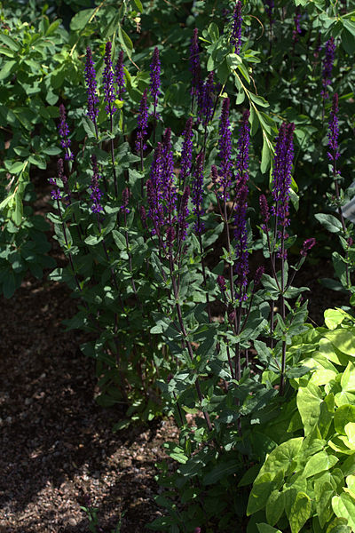 Cardonna Meadow Sage foliage flowers and habit