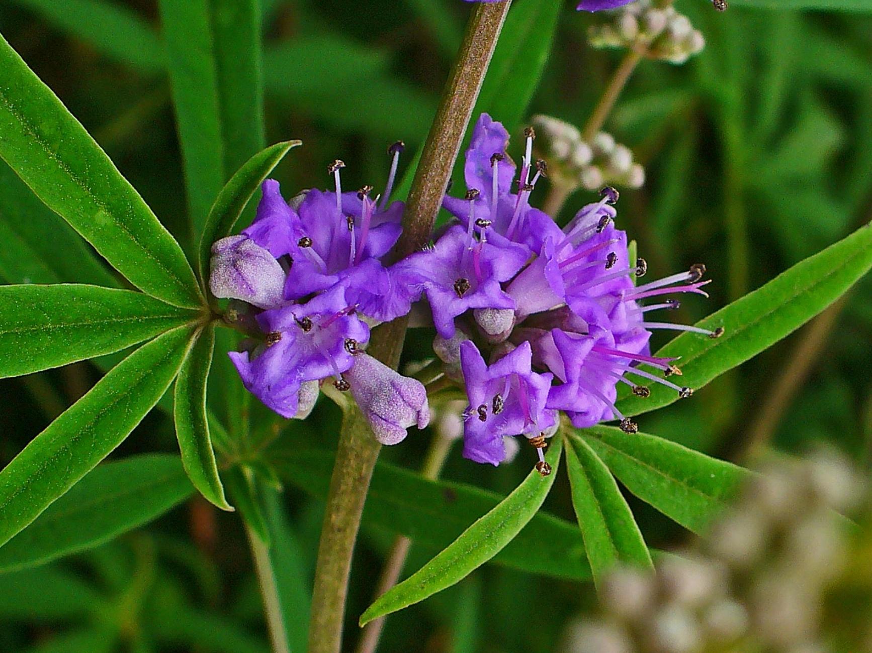 Chaste Tree purple flowers close up