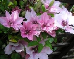 Клематис нежно-розовый. Цвет бедра нимфы