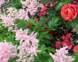 Роза Хот Шоколад (Какао) и нежно-розовая астильба (цвет бедра нимфы). Красивое сочетание!