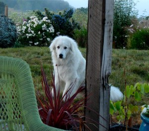 bella the great pyrenees