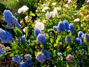california native plant-ceanothus - countrywomanpaints.com