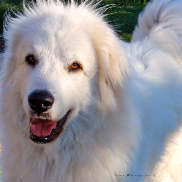 bella, the great pyrenees