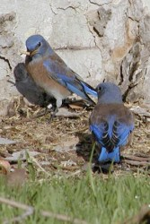 male bluebirds