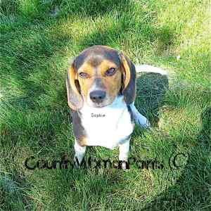 Beagle Sophie is Wiley