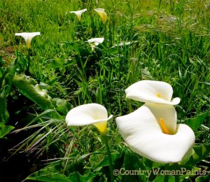 calla lily fields