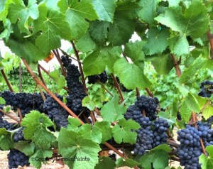 Pinot grapes in August ©2015 LAScott
