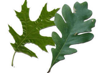 Red Oak Vs White Oak Leaves