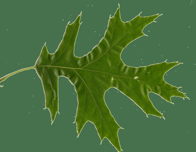 Red Oak Leaf (Red Oak vs White Oak Leaves)