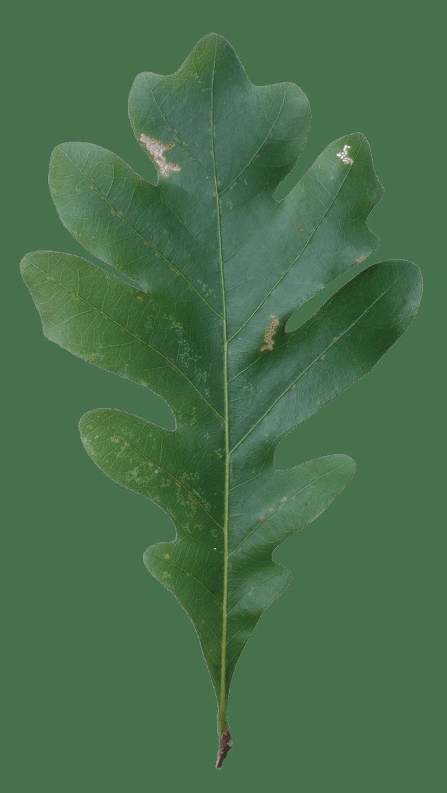 White Oak Leaf (Red Oak vs White Oak Leaves)