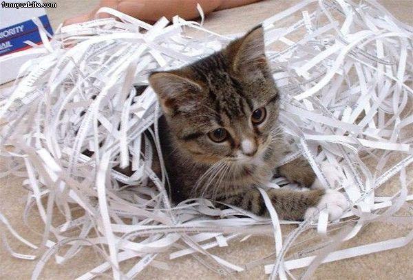 Cat-Shredded-Paper.jpg