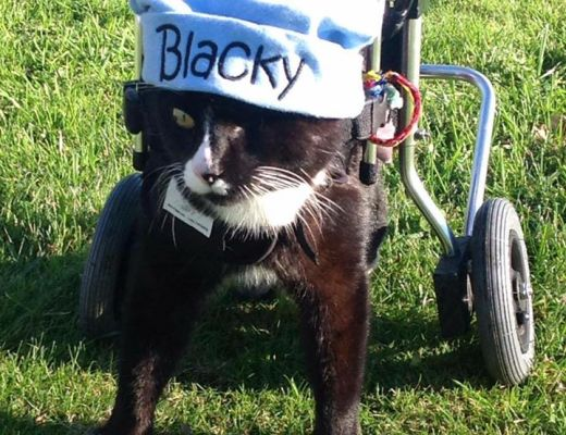 A tribute to Blacky the Wheelchair Cat