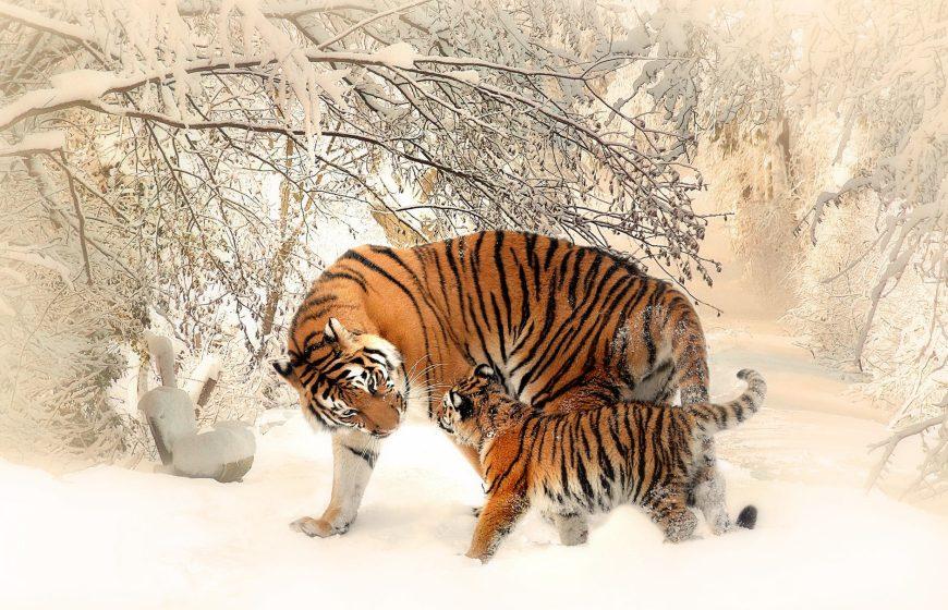 tiger-tiger-baby-tigerfamile-young-39629-5094679