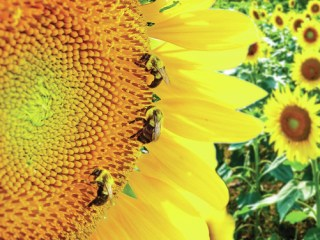Heliotropism Following the Son (Sunflower and bees)