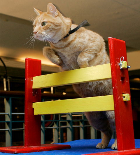 With a little encouragement and a tasty treat, your cat might amaze you with her athletic abilities. Photo by Richard Drew/AP Images.