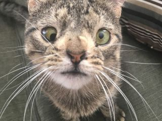 Meet Maya The Cat - A Tabby cat with a chromosomal abnormality.