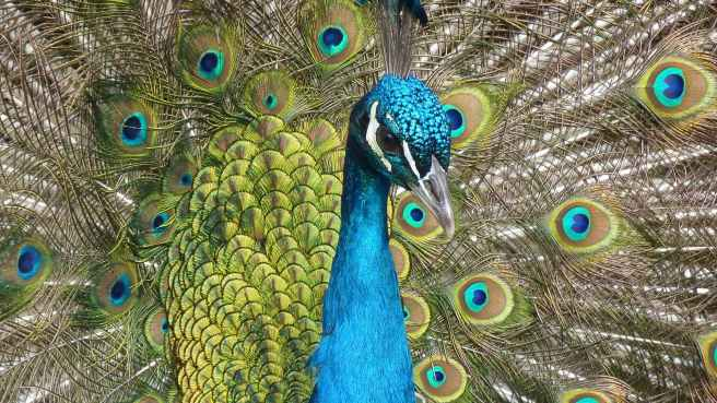 What does a peacock symbolize?