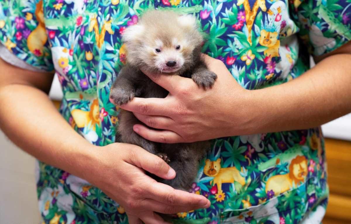 red-panda-baby-2964887
