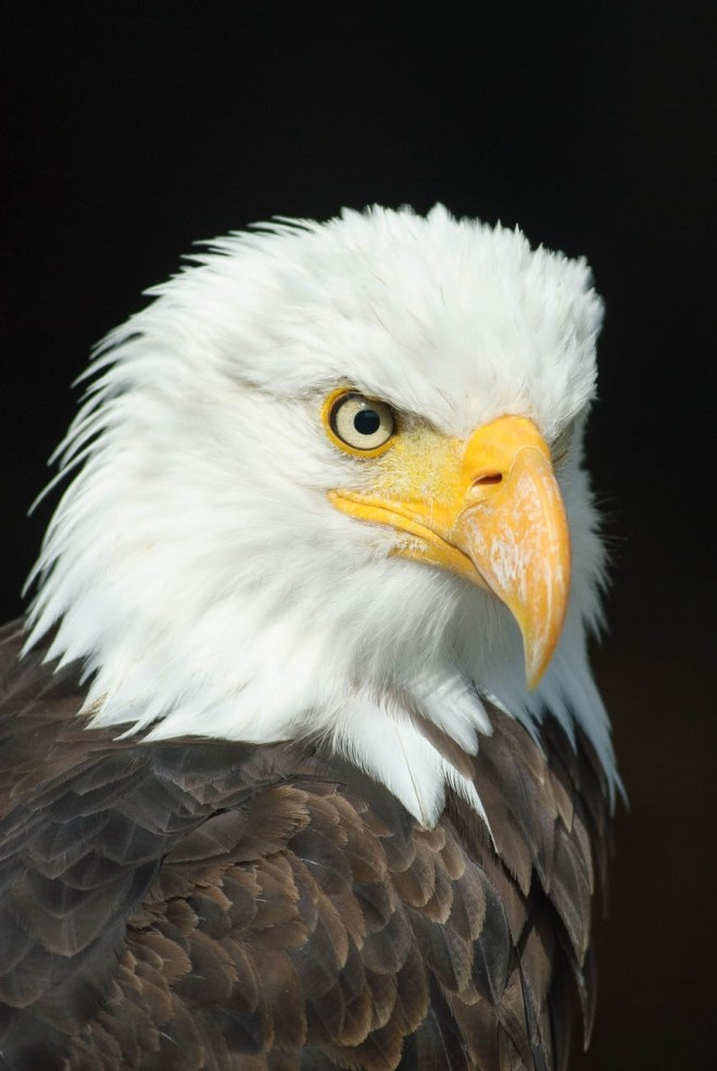 My encounter with an Eagle - Other than in a zoo, I have never seen an eagle in real life except this one time ...