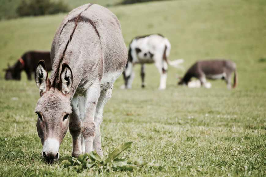 The Legend of the Donkey's Cross - How the donkey that carried Jesus now bares a cross on its back. #Donkey #DoneysCross (Photo by Leroy Huckett on Pexels.com)