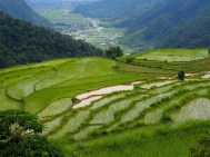 Rizière Népal