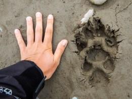 Enorme trace de pattes de loup. Les loups viennent sur les abords de la rivière à marée basse (oui les marées de l'océan influence le niveau de la rivière jusqu'à 100km dans les terres) pour se nourrir. Nous aurons la chance d'en renconter un au petit matin alors que nous glissons sur les eaux calmes de la rivière à marée basse. Echange de regards et rencontre inoubliables.