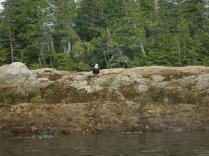Les emblématiques Pygargues à tête blanche sont les rois des airs dans cette région et nous avons eu la chance d'en observer tout au long de notre trajet. Bien qu'omniprésent, les aigles pêcheurs sont très difficile à approcher et à photographier car très méfint. Celui là, nous l'avons surpris juste au moment où il venait de pêcher un gros rockfish. Quasi impossible pour lui de voler loin avec le poisson dans ses serres et hors de question de perdre cette belle proie, raison pour laquelle on a pu l'approcher.
