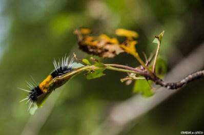 La forêt réserve parfois de belles surprises, comme cette impressionnante chenille et son armure.