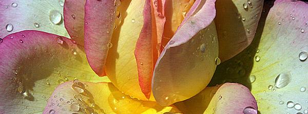 petale-de-rose