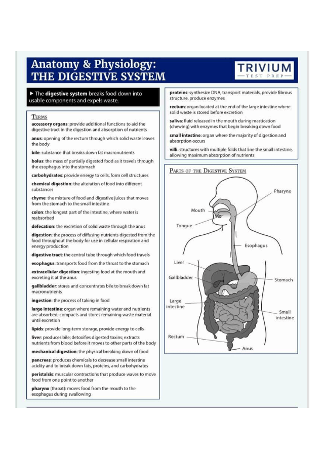 file8-4.jpeg - Anatomy Physiology THE DIGESTIVE SYSTEM ...