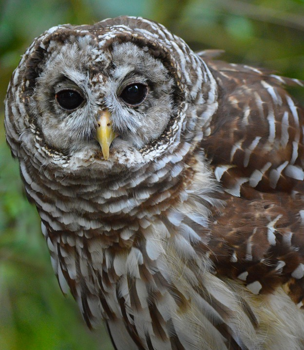 Feds Kill One Owl Species to Try to Save Another