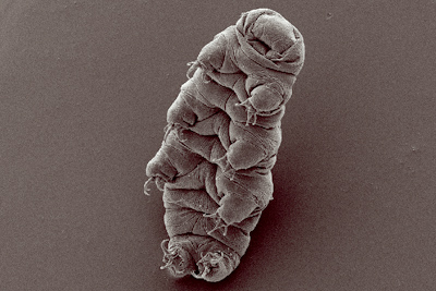 Tardigrades Might Be The Sole Survivors Of The Apocalypse