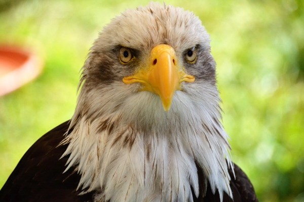 New Hepatitis-Like Virus Found in Bald Eagles Across US