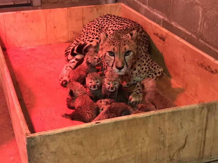 Rare 8-Cub Cheetah Litter Unveiled in St  Louis