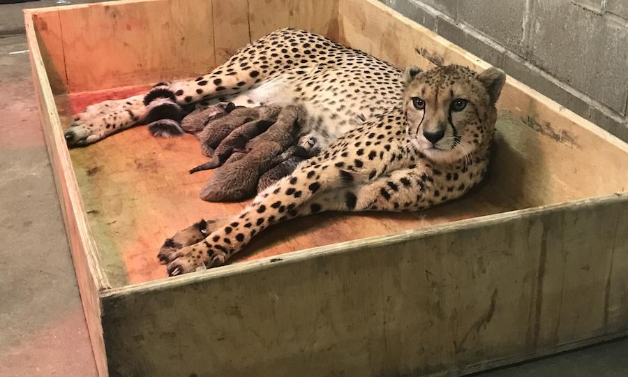 Cheetah gives birth to record-making litter at Saint Louis Zoo